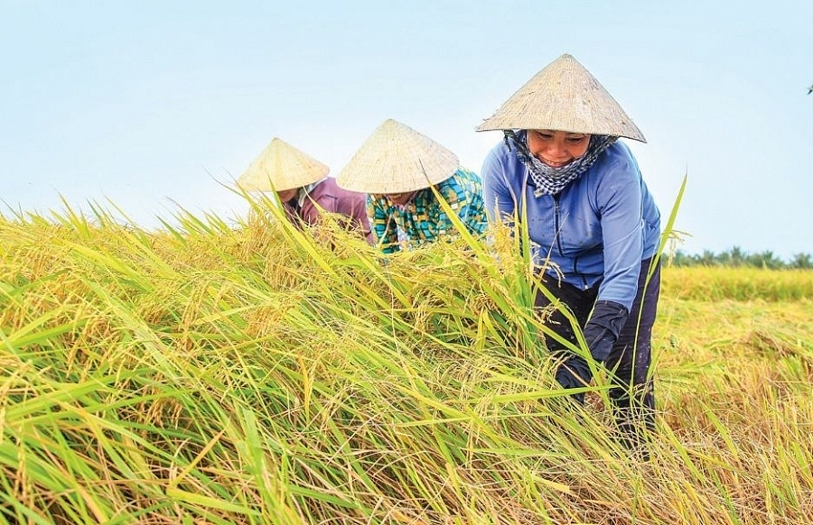 Giá lúa gạo ngày 15/10: Lúa Thu Đông tăng 100 – 300 đồng/kg