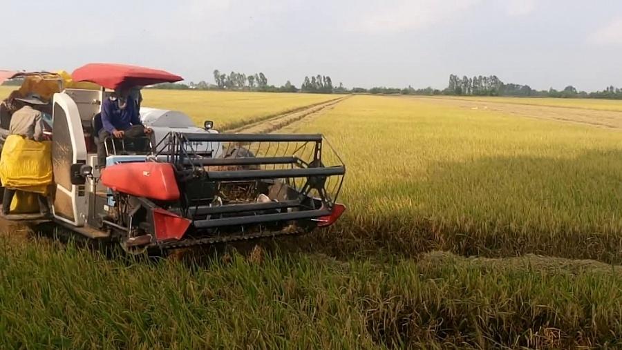 Giá lúa gạo hôm nay ngày 27/1: Giá lúa gạo bật tăng 300 đồng/kg