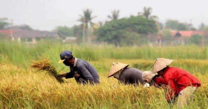 Lào xuất khẩu 50 tấn gạo đầu tiên sang Liên minh châu Âu